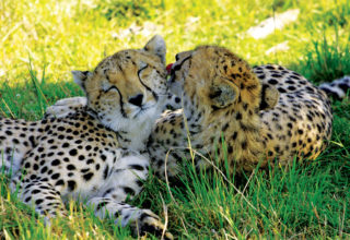 Spotting-cheetah-kisses - Copy