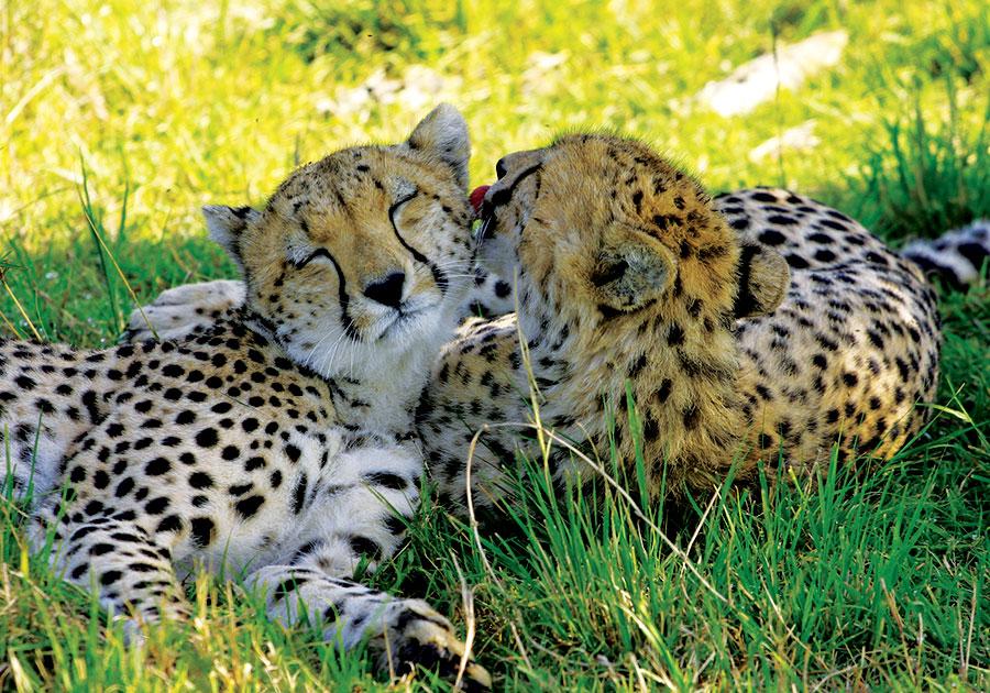 Spotting-cheetah-kisses - Copy